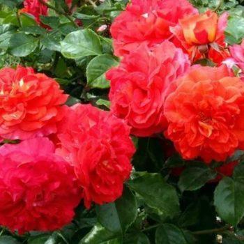 Роза Братья Гримм-1