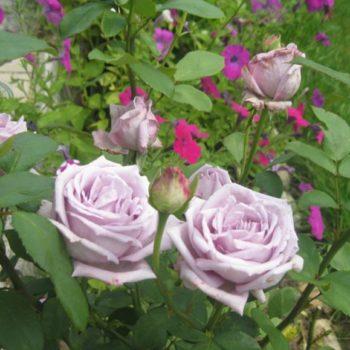 Роза Голубой Нил-2