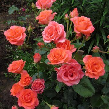 Роза Вау-2
