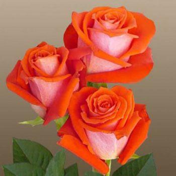Роза Верано-2