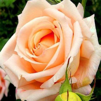 Роза Версилия-2