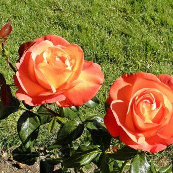 Роза Вуду-2