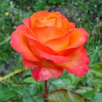 Роза Вуду-1