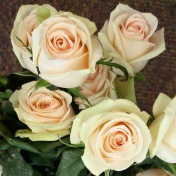 Роза Ла Перла-2