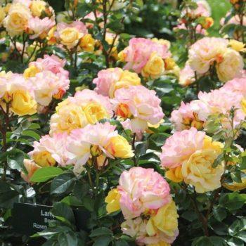 Роза Лампион-2