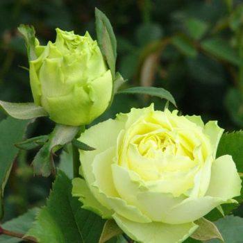 Роза Лимбо-2