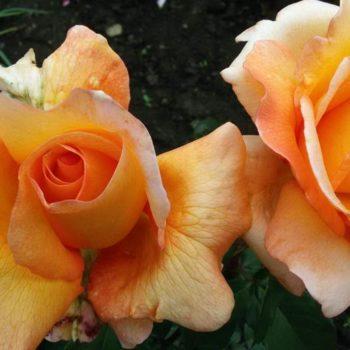 Роза Луи де Фюнес-1