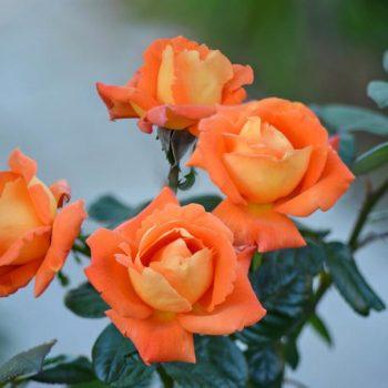 Роза Луи де Фюнес-2