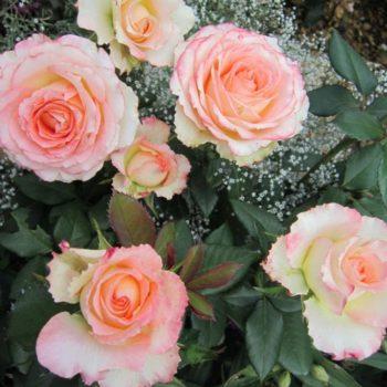 Роза Дуэт-1