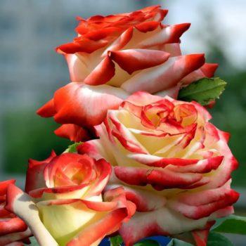 Роза Императрица Фарах-1