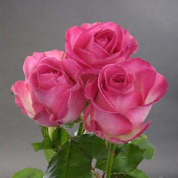 Роза Кэнди Аваланж-1