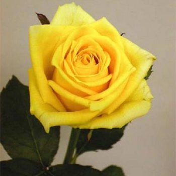 Роза Керн-1