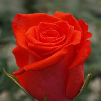 Роза Корвет-1