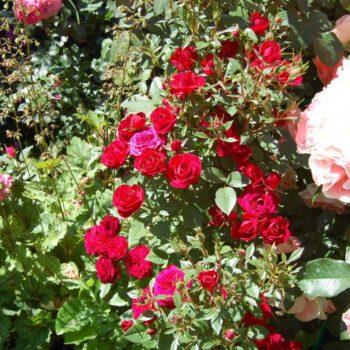 Роза Амалия-2