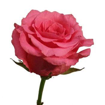 Роза Балет-1
