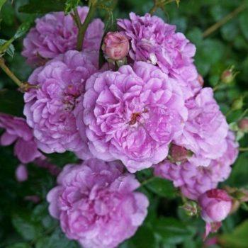 Роза Блю Бой-1