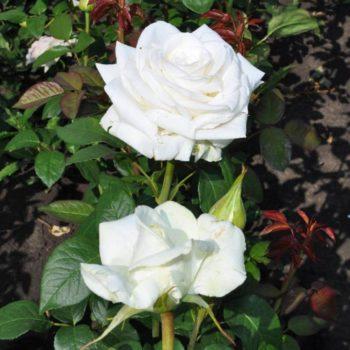 Роза Боинг-1