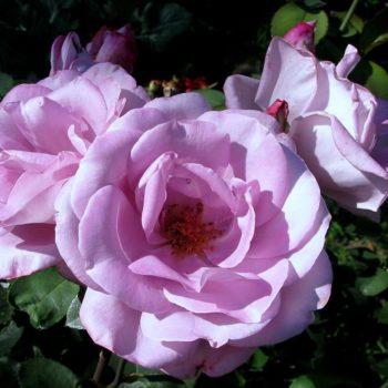 Роза Голубой Нил-1