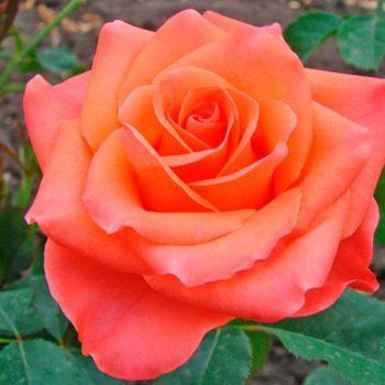 Роза Вау-1