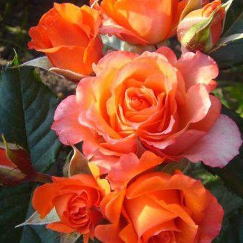 Роза Верано-1