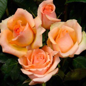 Роза Версилия-1