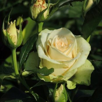 Роза Ла Перла-1