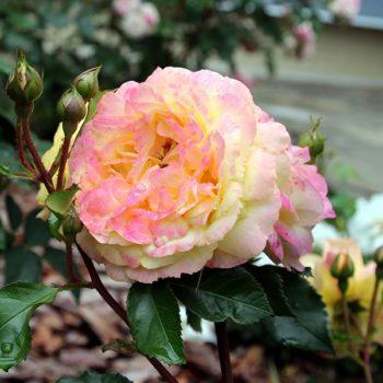 Роза Лампион-1