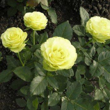 Роза Лимбо-1