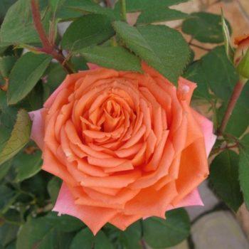 Роза Лоллипоп-1