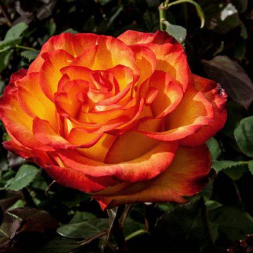 Роза Золотая Магия