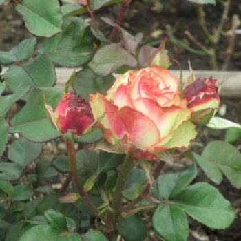 Роза Зазу-1