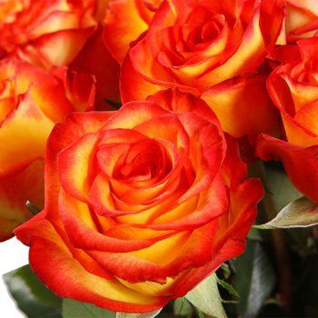 Роза Золотая Магия-1