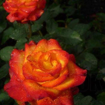 Роза Золотая Магия-2