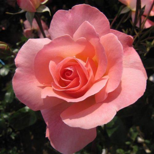Роза английская Ленни