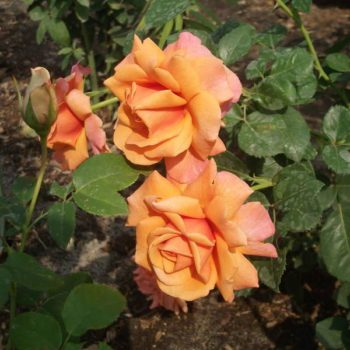 Роза английская Ленни-2