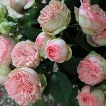 Роза Пиано Чарминг-2