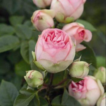 Роза Пиано Чарминг-1