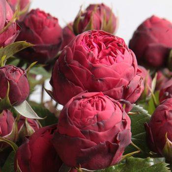 Роза английская Пиано Фриленд-2