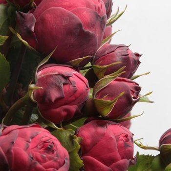 Роза английская Пиано Фриленд-1