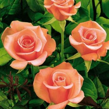 Роза английская Ленни-1
