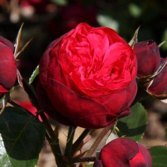 Роза английская Пиано Фриленд
