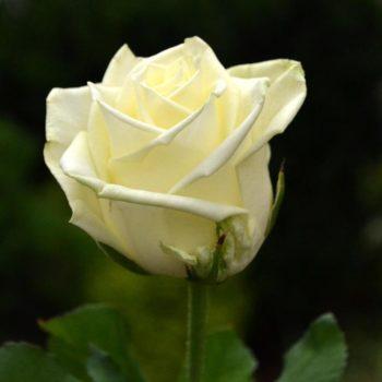 Роза Аваланж-1