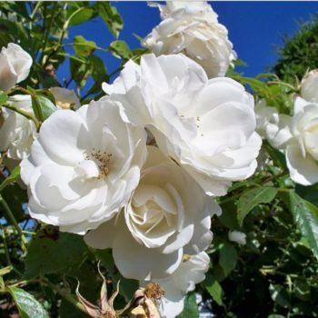 Роза Айсберг-2