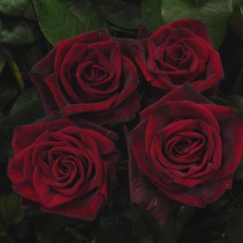 Роза Черная Магия-2