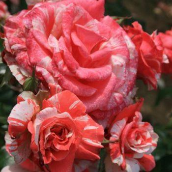 Роза Филателия-2