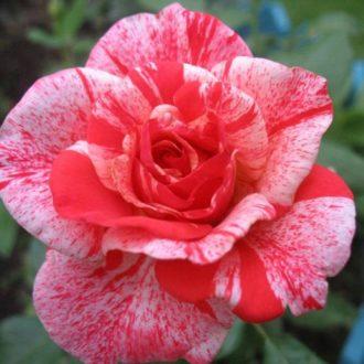 Роза Филателия
