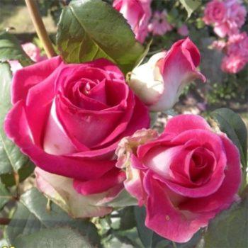 Роза Утро Парижа-1
