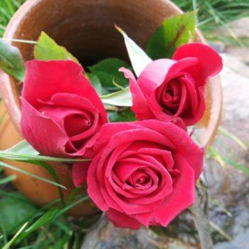 Роза Черри Лав-1