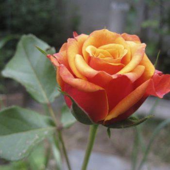 Роза Черри Бренди-2