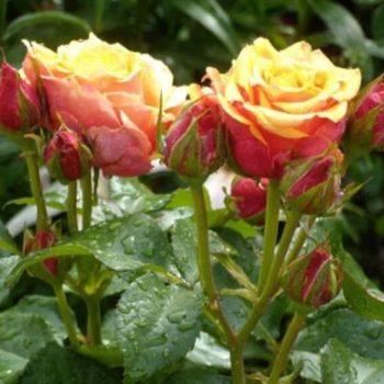 Роза Черри Бренди-1